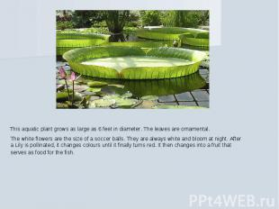 This aquatic plant grows as large as 6 feet in diameter. The leaves are ornament