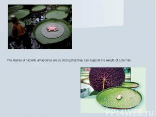The leaves of Victoria amazonica are so strong that they can support the weight
