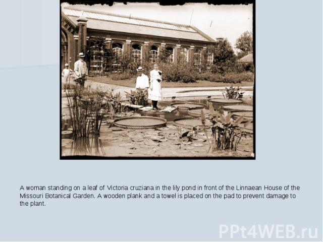 A woman standing on a leaf of Victoria cruziana in the lily pond in front of the Linnaean House of the Missouri Botanical Garden. A wooden plank and a towel is placed on the pad to prevent damage to the plant.