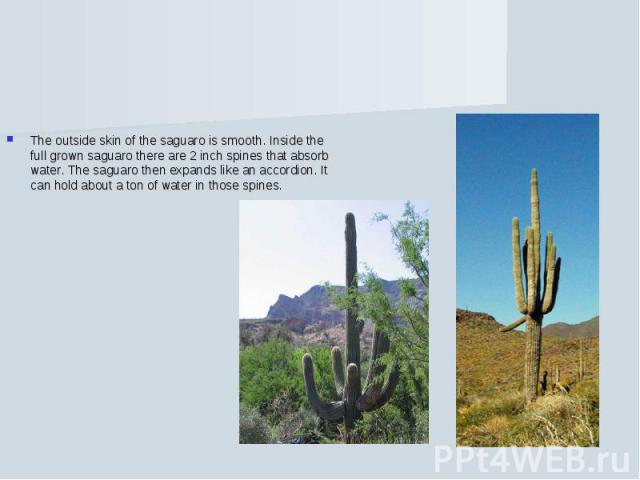 The outside skin of the saguaro is smooth. Inside the full grown saguaro there are 2 inch spines that absorb water. The saguaro then expands like an accordion. It can hold about a ton of water in those spines.
