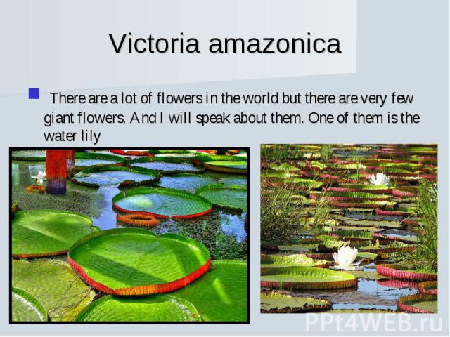 Victoria amazonica There are a lot of flowers in the world but there are very few giant flowers. And I will speak about them. One of them is the water lily