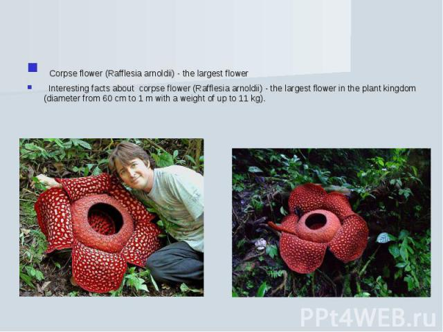 Corpse flower (Rafflesia arnoldii) - the largest flower Interesting facts about corpse flower (Rafflesia arnoldii) - the largest flower in the plant kingdom (diameter from 60 cm to 1 m with a weight of up to 11 kg).