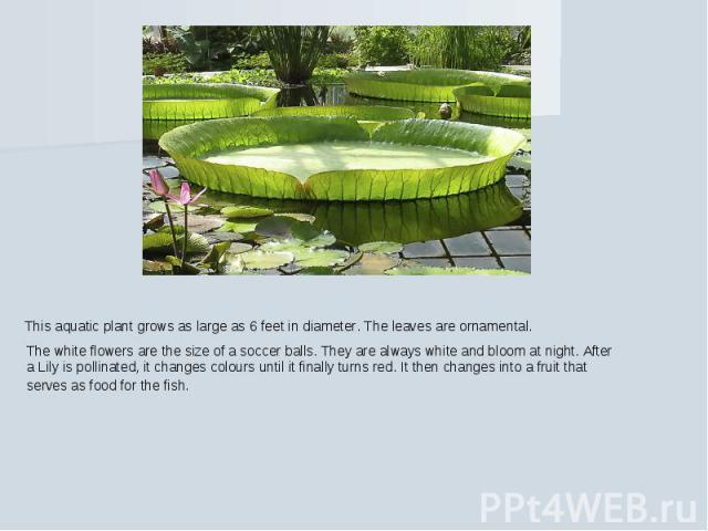 This aquatic plant grows as large as 6 feet in diameter. The leaves are ornamental. The white flowers are the size of a soccer balls. They are always white and bloom at night. After a Lily is pollinated, it changes colours until it finally turns red…