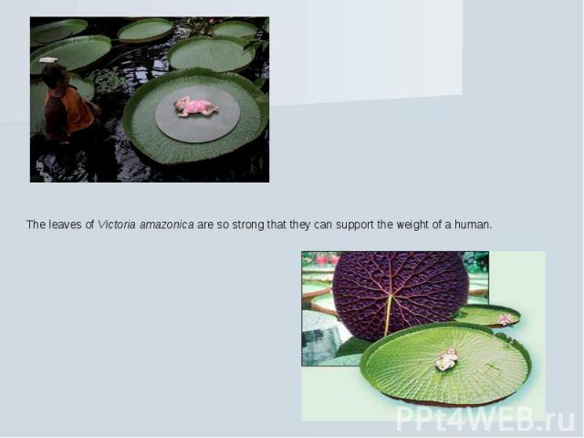 The leaves of Victoria amazonica are so strong that they can support the weight of a human.