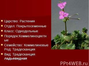 Царство: РастенияОтдел: ПокрытосеменныеКласс: ОднодольныеПорядок:Коммелиноцветны