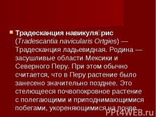 Традесканция навикулярис (Tradescantia navicularis Ortgies)— Традесканция ладье