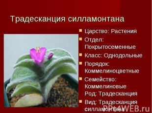 Традесканция силламонтана Царство: РастенияОтдел: ПокрытосеменныеКласс: Однодоль