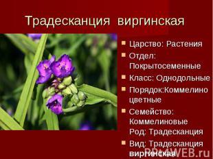 Традесканция виргинская Царство: РастенияОтдел: ПокрытосеменныеКласс: Однодольны