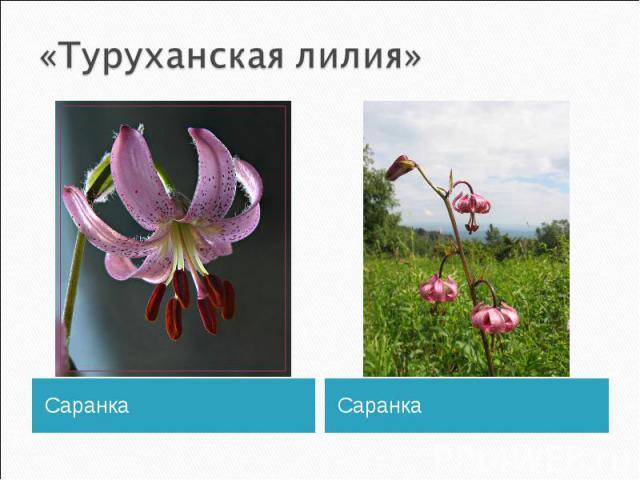 «Туруханская лилия»