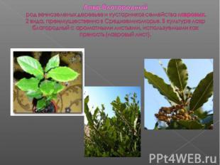 Лавр благородный род вечнозеленых деревьев и кустарников семейства лавровых. 2 в