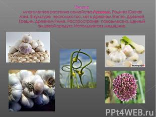 Чеснок многолетнее растение семейства Луковых. Родина Южная Азия. В культуре нес