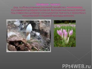 Шафран крокусрод клубнелуковичных растений семейства Касатиковых. Культивируют ш