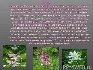 Ясенецсемейство Рутовые Все части растения содержат эфирное масло, кроме того ра