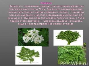 Кервель Кервель — однолетнее травянистое растение семейства Зонтичных высотой до