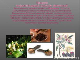 Гвоздикагвоздичное дерево сизигиум ароматный. Вечнозеленое дерево семейства Мирт