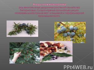 Ягоды можжевельникарод вечнозеленых двудомных растений семейства Кипарисовых. Сл