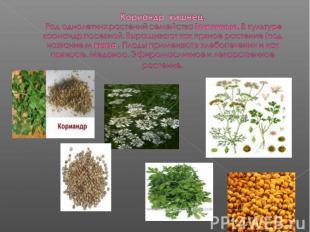 Кориандр кишнец. Род однолетних растений семейства Зонтичные. В культуре корианд