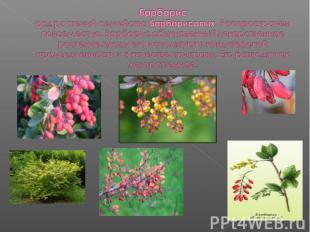 Барбарисрод растений семейства Барбарисовых. Распространен повсеместно. Барбарис