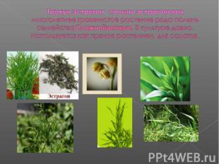 Тархун эстрагон полынь эстрагоноваямноголетнее травянистое растение рода полынь