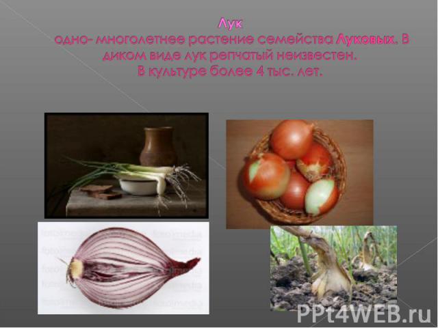 Лук одно- многолетнее растение семейства Луковых. В диком виде лук репчатый неизвестен. В культуре более 4 тыс. лет.