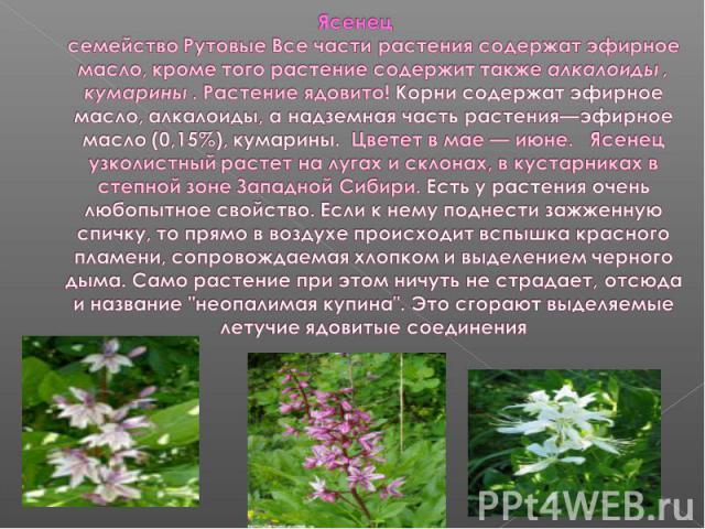 Ясенецсемейство Рутовые Все части растения содержат эфирное масло, кроме того растение содержит также алкалоиды , кумарины . Растение ядовито! Корни содержат эфирное масло, алкалоиды, а надземная часть растения—эфирное масло (0,15%), кумарины. Цвете…