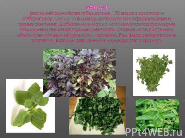 Базилик растений семейства губоцветных. 150 видов в тропиках и субтропиках. Около 10 видов культивируют как эфироносные и пряные растения. Добываемое масло используется парфюмерии. Медицине и пищевой промышленности. Свежие листья Базилика обыкновенн…