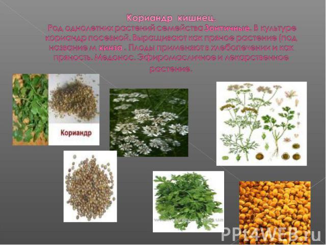 Кориандр кишнец. Род однолетних растений семейства Зонтичные. В культуре кориандр посевной. Выращивают как пряное растение (под название м кинза . Плоды применяют в хлебопечении и как пряность. Медонос. Эфиромасличное и лекарственное растение.