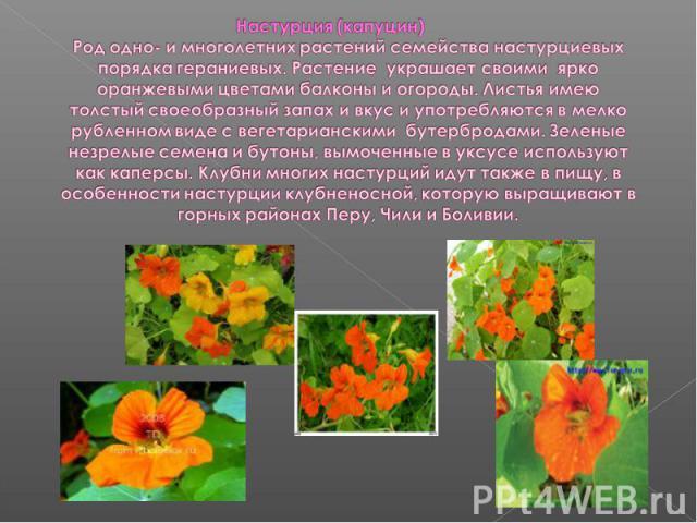 Настурция (капуцин)Род одно- и многолетних растений семейства настурциевых порядка гераниевых. Растение украшает своими ярко оранжевыми цветами балконы и огороды. Листья имею толстый своеобразный запах и вкус и употребляются в мелко рубленном виде с…