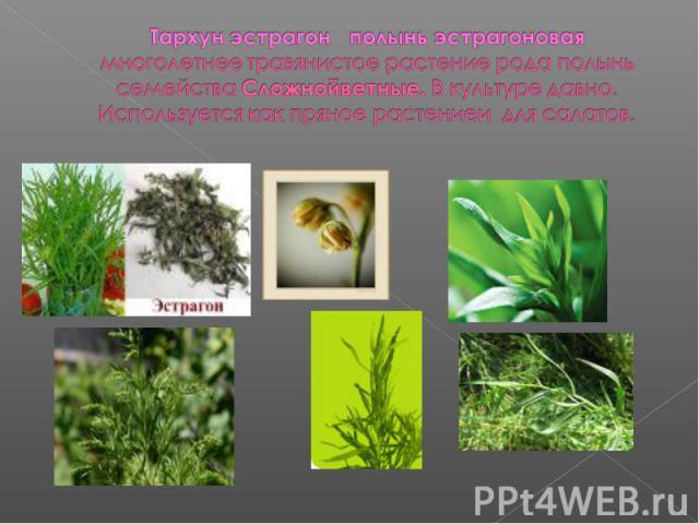 Тархун эстрагон полынь эстрагоноваямноголетнее травянистое растение рода полынь семейства Сложнойветные. В культуре давно. Используется как пряное растениеи для салатов.
