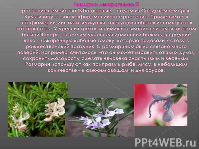 Розмарин лекарственныйрастение семейства Губоцветные, родом из Средиземноморья. Культивируется как эфиромасличное растение. Применяется в парфюмерии, листья и верхушки цветущих побегов используются как пряность. У древних греков и римлян розмарин с…