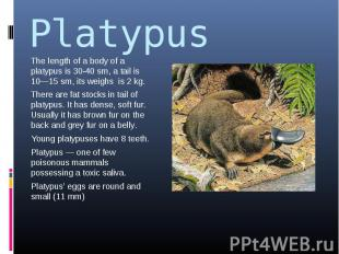 Platypus The length of a body of a platypus is 30-40 sm, a tail is 10—15 sm, its