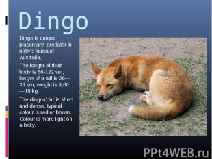 Dingo Dingo is unique placentary predator in native fauna of Australia.The lengt