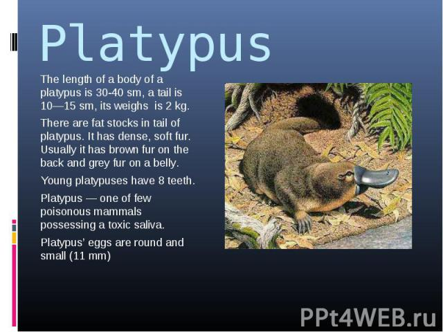Platypus The length of a body of a platypus is 30-40 sm, a tail is 10—15 sm, its weighs is 2 kg.There are fat stocks in tail of platypus. It has dense, soft fur. Usually it has brown fur on the back and grey fur on a belly.Young platypuses have 8 te…