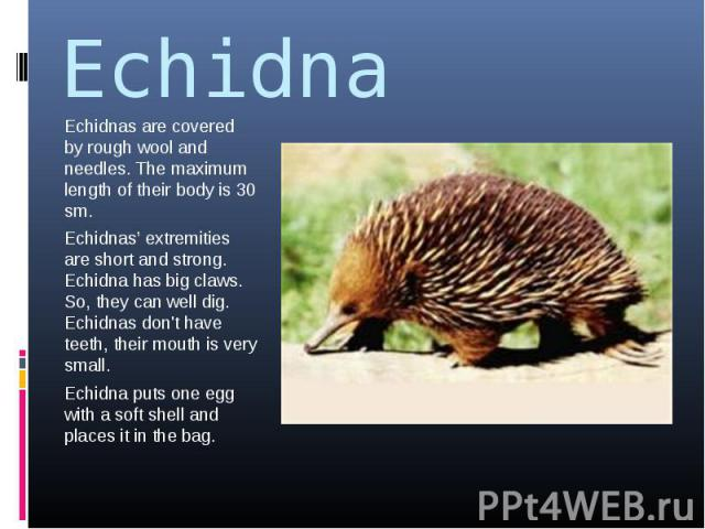 Echidna Echidnas are covered by rough wool and needles. The maximum length of their body is 30 sm.Echidnas' extremities are short and strong. Echidna has big claws. So, they can well dig. Echidnas don't have teeth, their mouth is very small.Echidna …
