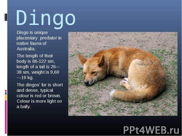 Dingo Dingo is unique placentary predator in native fauna of Australia.The length of their body is 86-122 sm, length of a tail is 26—38 sm, weight is 9,60—19 kg.The dingos' fur is short and dense, typical colour is red or brown. Colour is more light…