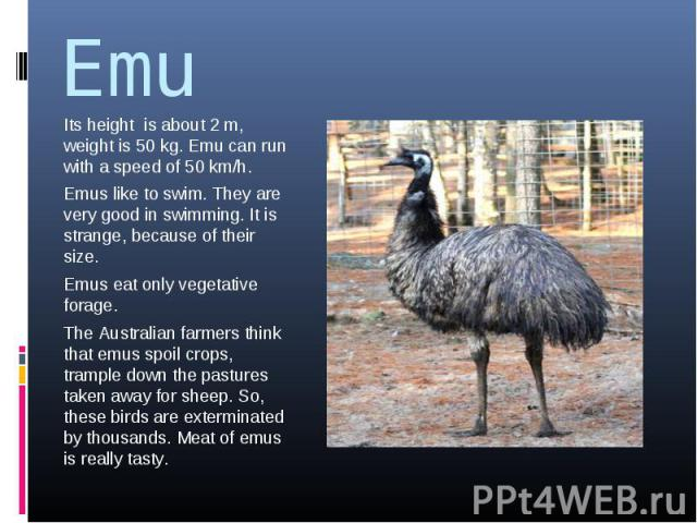 Emu Its height is about 2 m, weight is 50 kg. Emu can run with a speed of 50 km/h.Emus like to swim. They are very good in swimming. It is strange, because of their size.Emus eat only vegetative forage.The Australian farmers think that emus spoil cr…