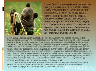 Самец бурого медведя может достигать в длину 2,5 м и массы тела до 500—750 кг. С