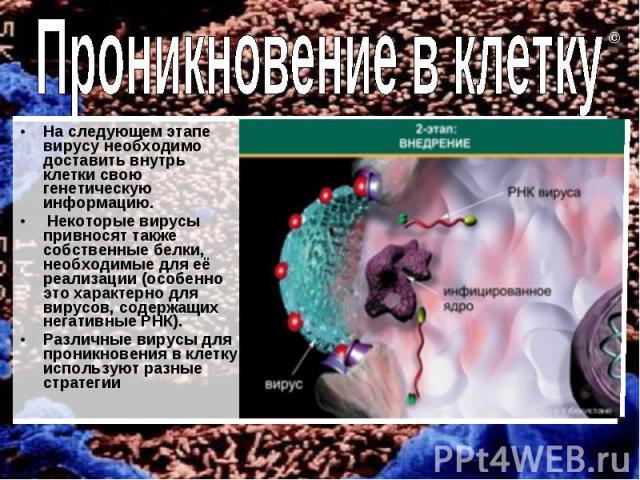 На следующем этапе вирусу необходимо доставить внутрь клетки свою генетическую информацию. Некоторые вирусы привносят также собственные белки, необходимые для её реализации (особенно это характерно для вирусов, содержащих негативные РНК). Различные …