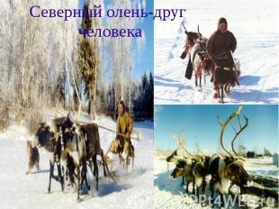Северный олень-друг человека