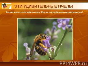 ЭТИ УДИВИТЕЛЬНЫЕ ПЧЕЛЫБольше всего в семье рабочих пчел. Как же они разделяют св
