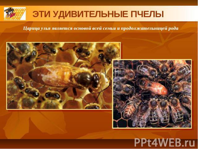 ЭТИ УДИВИТЕЛЬНЫЕ ПЧЕЛЫЦарица улья является основой всей семьи и продолжательницей рода