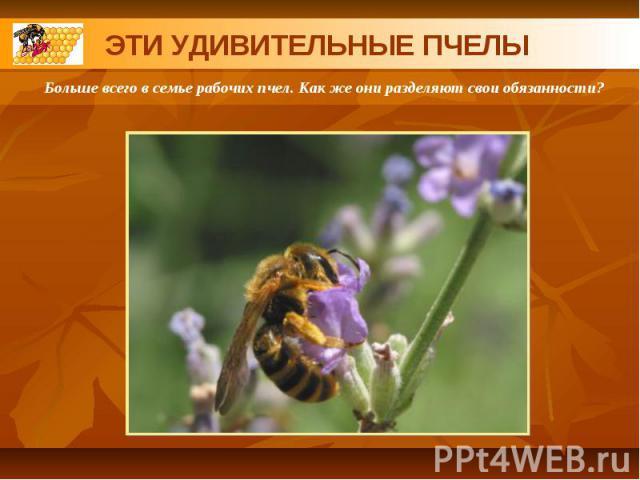 ЭТИ УДИВИТЕЛЬНЫЕ ПЧЕЛЫБольше всего в семье рабочих пчел. Как же они разделяют свои обязанности?
