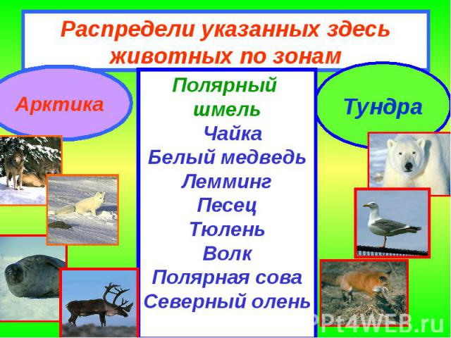 Распредели указанных здесь животных по зонам Полярный шмель ЧайкаБелый медведьЛеммингПесецТюленьВолкПолярная соваСеверный олень