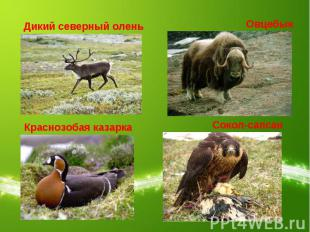 Дикий северный оленьОвцебыкКраснозобая казаркаСокол-сапсан