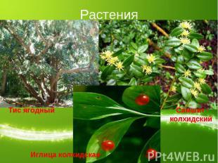 Растения Тис ягодныйИглица колхидская Самшит колхидский
