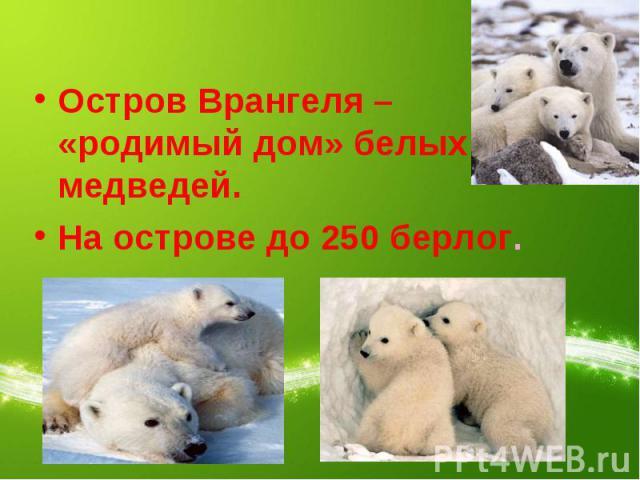 Остров Врангеля – «родимый дом» белых медведей.На острове до 250 берлог.