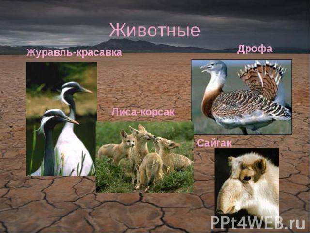 Животные Журавль-красавкаЛиса-корсакДрофаСайгак