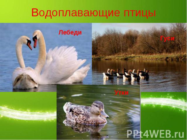 Водоплавающие птицы ЛебедиГусиУтки