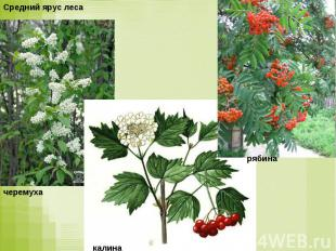 Средний ярус лесачеремухакалина