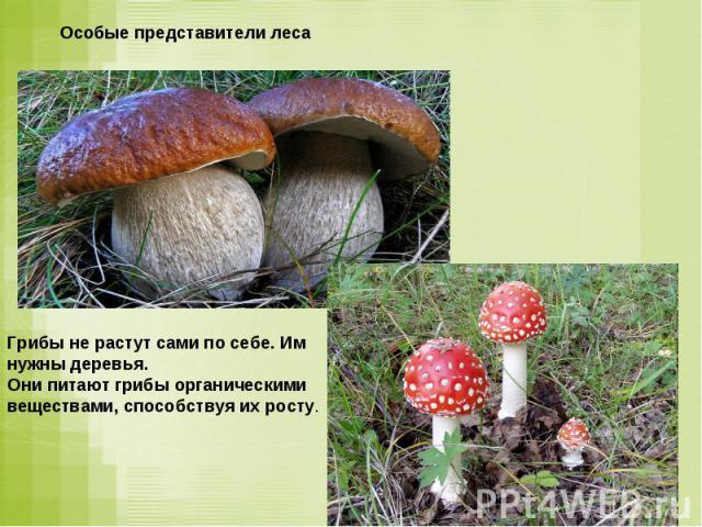 Особые представители лесаГрибы не растут сами по себе. Им нужны деревья. Они питают грибы органическими веществами, способствуя их росту.